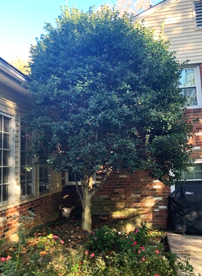 Big Holly Tree growing close to gutters and house, would benefit from tree growth regulators