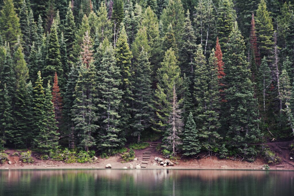 evergreen trees with a few suffering from unsightly winter burn