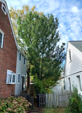 Big Pear Tree encroaching into neighbor's yard and dealing with construction stressor, would benefit from tree growth regulators