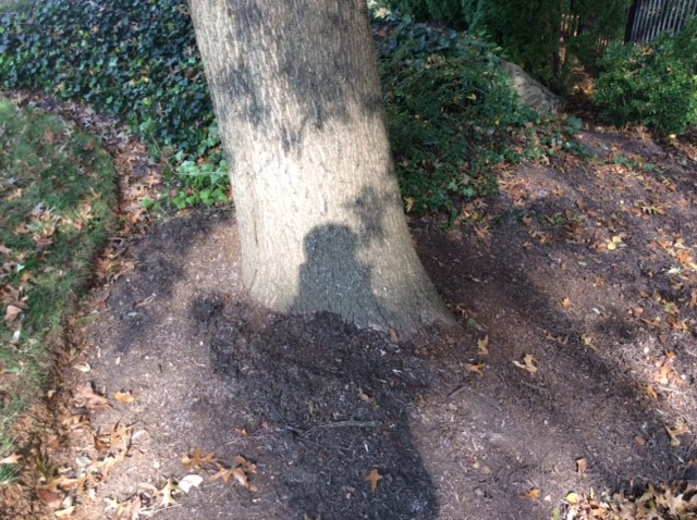 tree growth regulator application: step three