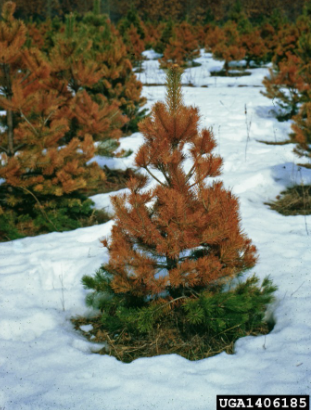 winter burn infected evergreen tree