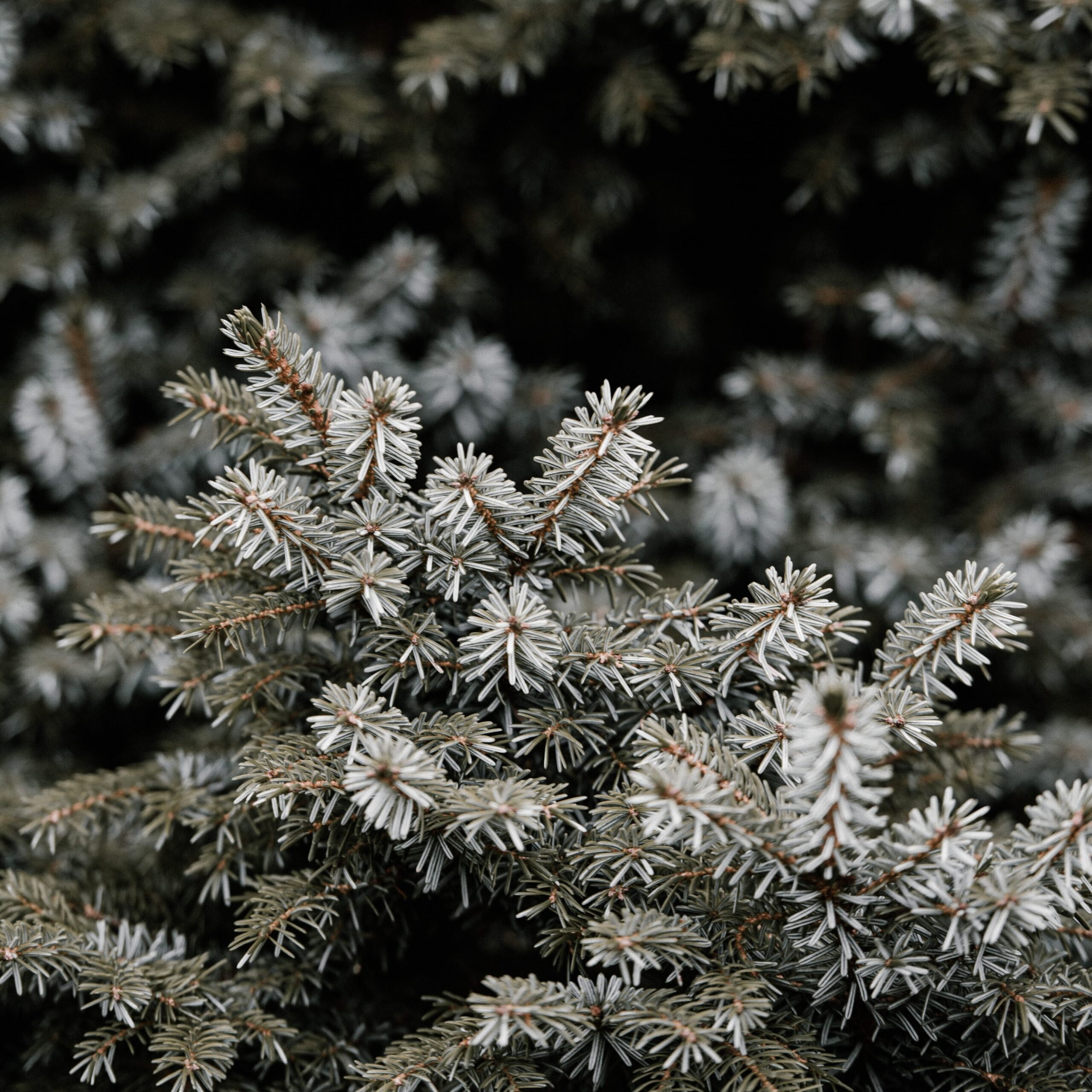 evergreen tree in winter needles covered in snow