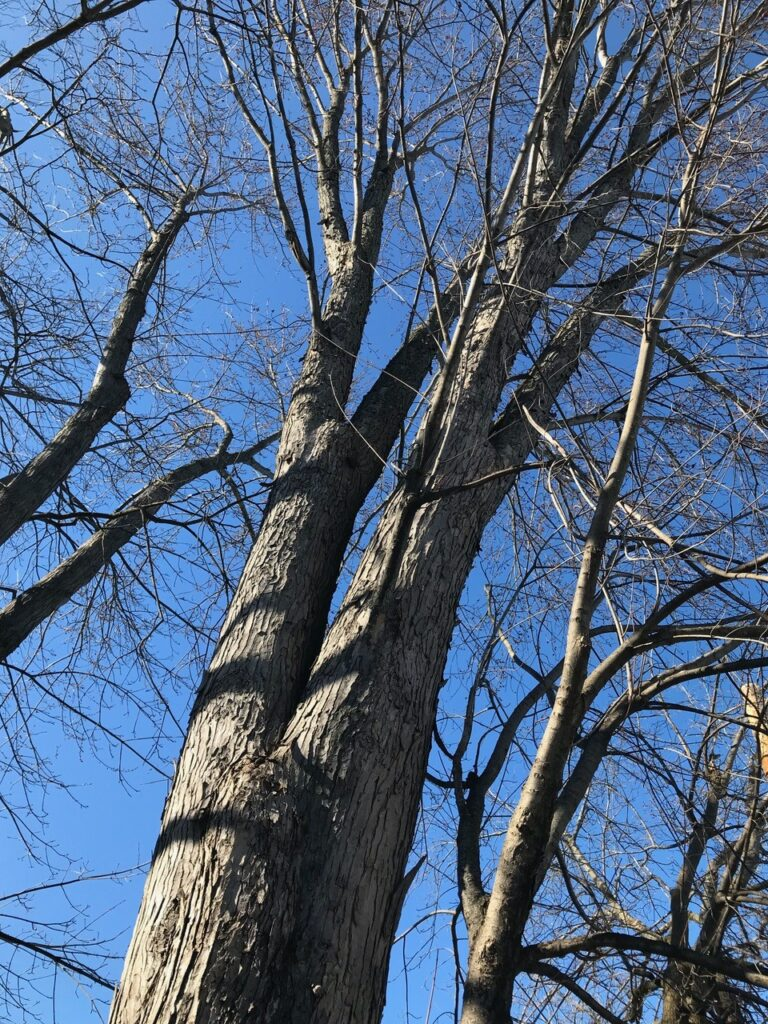 dormant trees can benefit from cabling, such as this one