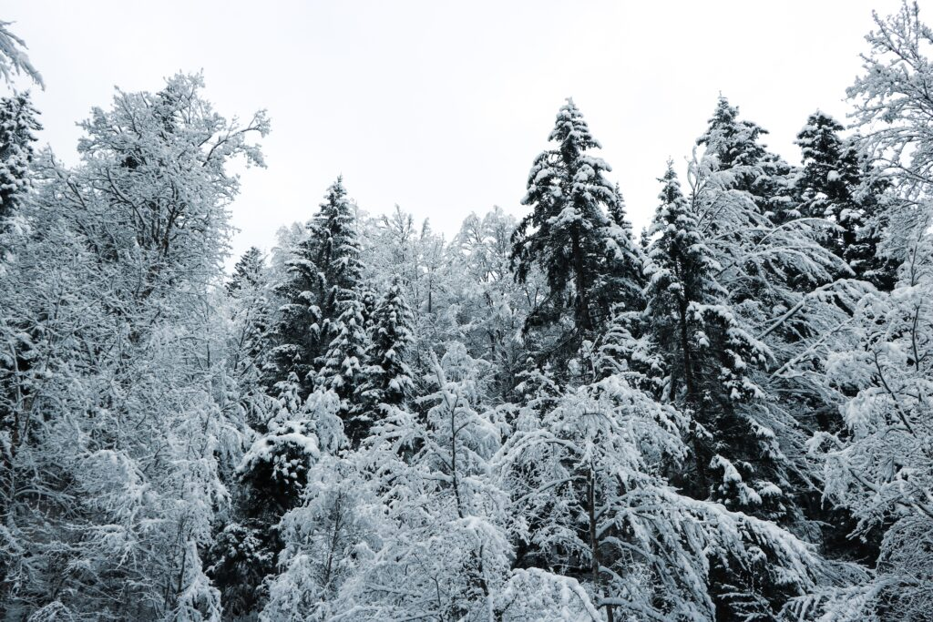 evergreen trees in winter storm
