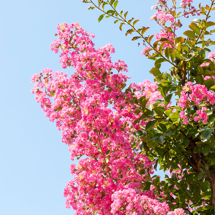 crepe myrtle tree with pretty pink flowers