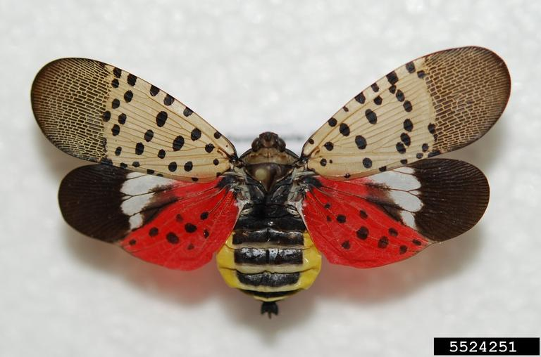 spotted lanternfly tree bug