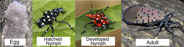 Spotted lanternfly tree bug life stages
