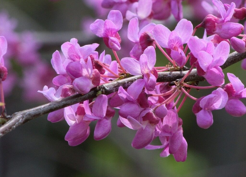 redbud blossoms on tree that symbolize love through heart shaped leaves