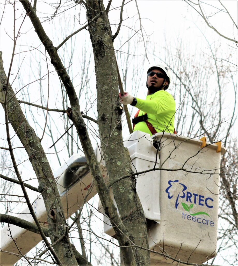 best time to trim trees is in the winter when the tree is dormant - RTEC Treecare tree service doing work on dormant tree