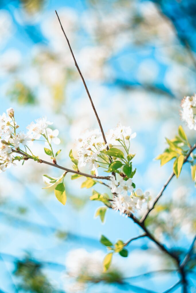 pruning trees in spring, white flowering tree branch