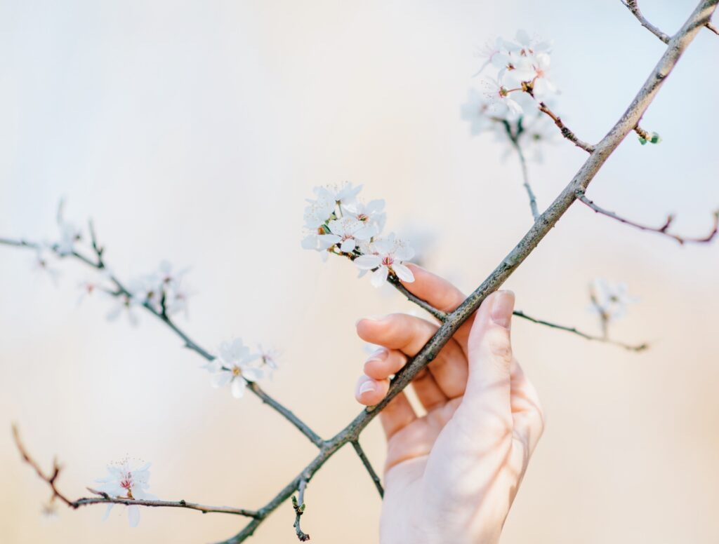 pruning trees in spring, person holding flowering tree branch