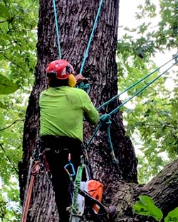 One of our tree service experts providing tree removal service on a local Bethesda, MD trail