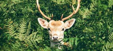 deer hiding in tree: how to protect trees from deer