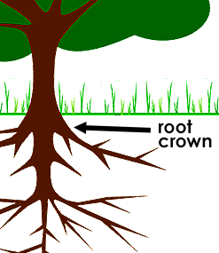 how to mulch a tree: check the root crown to see if it moves when you press down on the tree trunk!