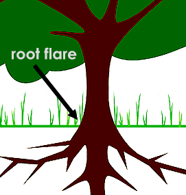 How to mulch a tree: make sure when you place mulch around a tree, that you can still see its root flare!