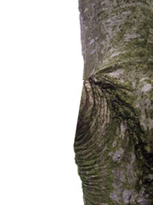WRONG: This tree pruning cut is a flesh cut. The branch collar and part of the trunk were removed.