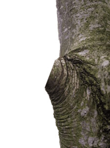 CORRECT: This tree pruning cut is right outside of the branch collar. This will allow it to properly heal.