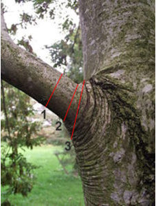 Tree pruning CUTS TYPICALLY SEEN ON TREES #1 & #3 Incorrect, #2 Correct
