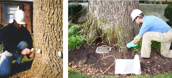 RTEC Arborist uses micro-injection and macro-injection method to treat trees preventively for pests and diseases.
